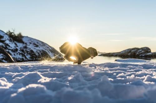 Hoppelnder Schneehase bei Sonnenschein